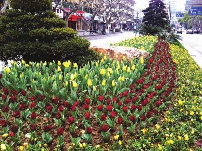 熏风习习,阳光明媚,千岛湖镇城区街道的花坛内,黄色,红色的郁金香